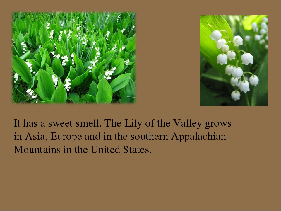 It has a sweet smell. The Lily of the Valley grows in Asia, Europe and in the...