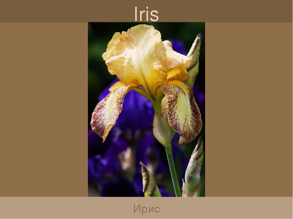 Iris Ирис