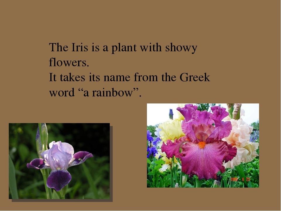 The Iris is a plant with showy flowers. It takes its name from the Greek word...