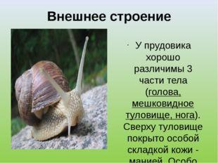 Внешнее строение У прудовика хорошо различимы 3 части тела (голова, мешковидн