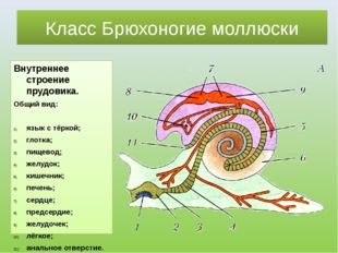 Класс Брюхоногие моллюски Внутреннее строение прудовика. Общий вид: язык с тё