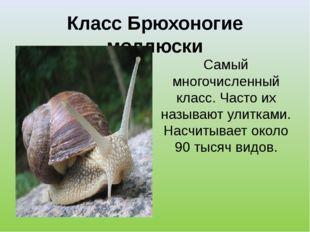 Класс Брюхоногие моллюски Самый многочисленный класс. Часто их называют улитк