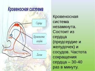 Кровеносная система незамкнута. Состоит из сердца (предсердие и желудочек) и