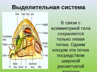 Выделительная система В связи с асимметрией тела сохраняется только левая поч