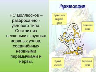 НС моллюсков – разбросанно - узлового типа. Состоит из нескольких крупных не