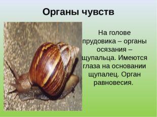 Органы чувств На голове прудовика – органы осязания – щупальца. Имеются глаза