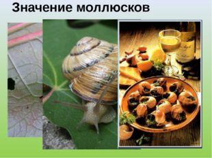 Значение моллюсков Слизни и виноградная улитка – вредители сельского хозяйств