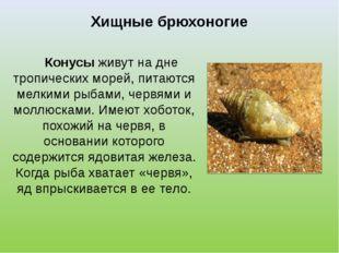 Хищные брюхоногие Конусы живут на дне тропических морей, питаются мелкими рыб