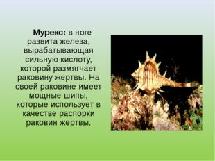 Мурекс: в ноге развита железа, вырабатывающая сильную кислоту, которой размя