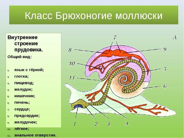 Класс Брюхоногие моллюски Внутреннее строение прудовика. Общий вид: язык с тё...