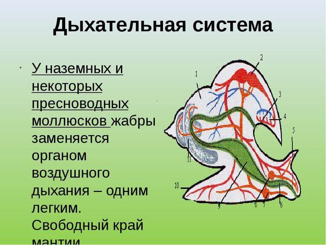 Дыхательная система У наземных и некоторых пресноводных моллюсков жабры замен...