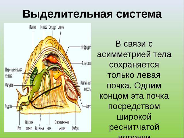 Выделительная система В связи с асимметрией тела сохраняется только левая поч...