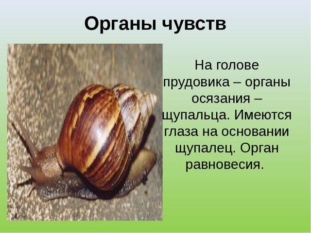 Органы чувств На голове прудовика – органы осязания – щупальца. Имеются глаза...