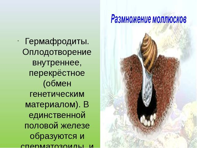 Гермафродиты. Оплодотворение внутреннее, перекрёстное (обмен генетическим ма...
