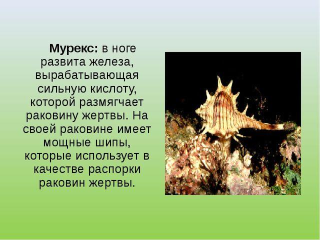Мурекс: в ноге развита железа, вырабатывающая сильную кислоту, которой размя...