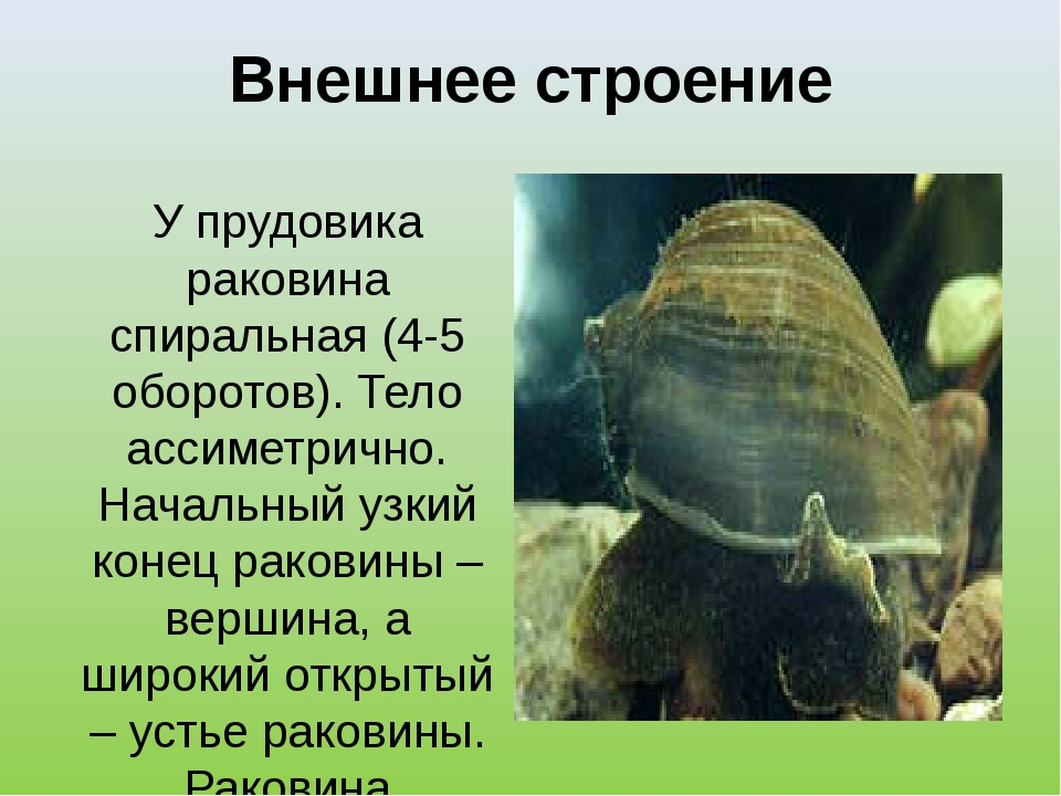 Внешнее строение У прудовика раковина спиральная (4-5 оборотов). Тело ассимет...