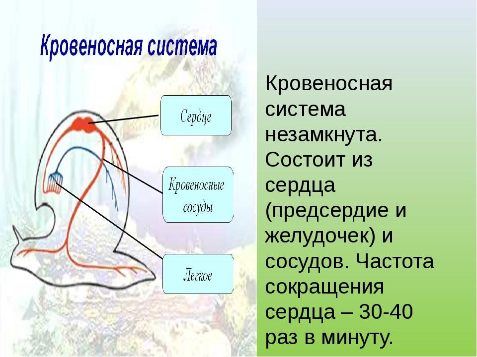 Кровеносная система незамкнута. Состоит из сердца (предсердие и желудочек) и...