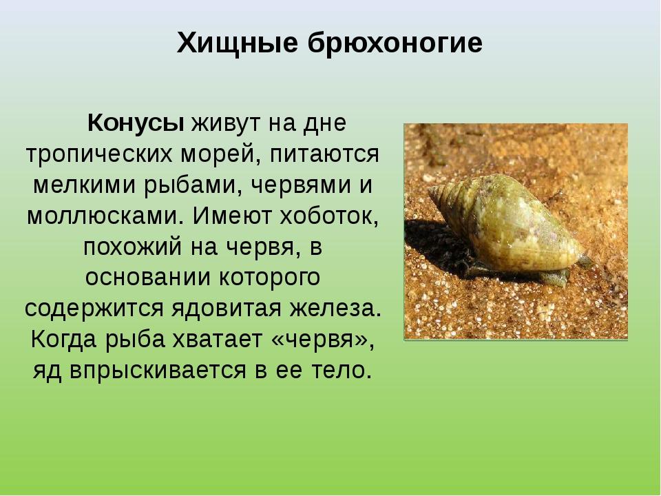 Хищные брюхоногие Конусы живут на дне тропических морей, питаются мелкими рыб...