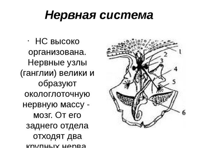 Нервная система НС высоко организована. Нервные узлы (ганглии) велики и образ...