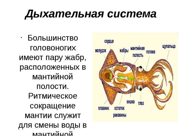 Дыхательная система Большинство головоногих имеют пару жабр, расположенных в...