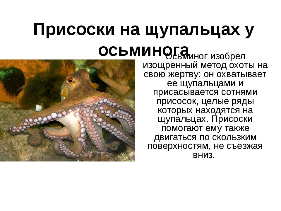 Присоски на щупальцах у осьминога Осьминог изобрел изощренный метод охоты на...