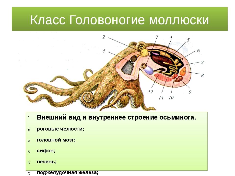 Класс Головоногие моллюски Внешний вид и внутреннее строение осьминога. рогов...