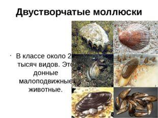 Двустворчатые моллюски В классе около 20 тысяч видов. Это донные малоподвижны
