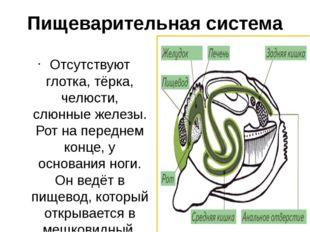 Пищеварительная система Отсутствуют глотка, тёрка, челюсти, слюнные железы. Р