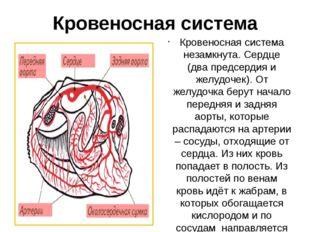 Кровеносная система Кровеносная система незамкнута. Сердце (два предсердия и