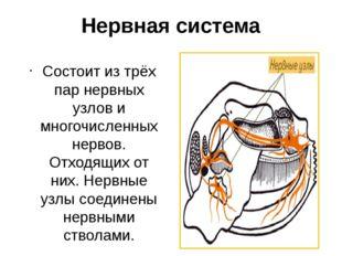 Нервная система Состоит из трёх пар нервных узлов и многочисленных нервов. От