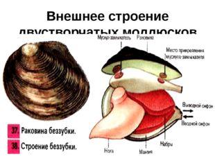 Внешнее строение двустворчатых моллюсков