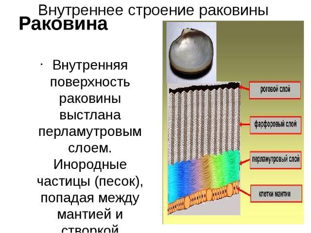 Внутреннее строение раковины Раковина Внутренняя поверхность раковины выстлан...
