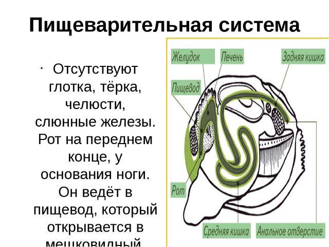 Пищеварительная система Отсутствуют глотка, тёрка, челюсти, слюнные железы. Р...