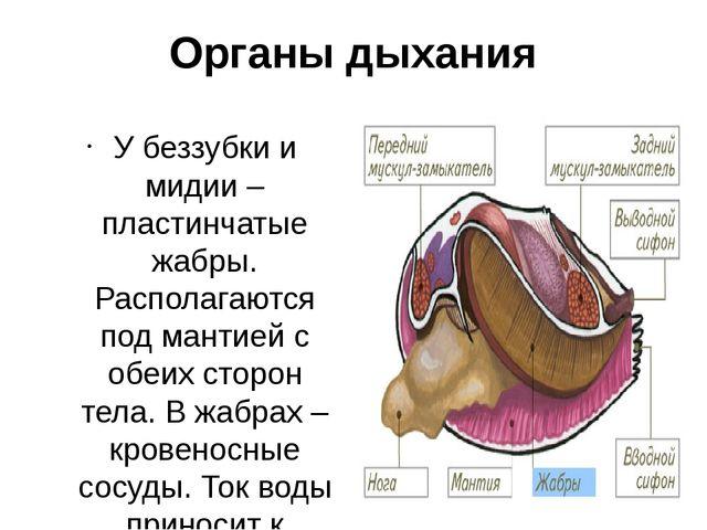 Органы дыхания У беззубки и мидии – пластинчатые жабры. Располагаются под ман...