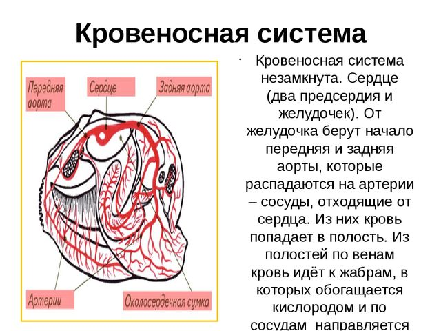 Кровеносная система Кровеносная система незамкнута. Сердце (два предсердия и...