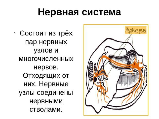 Нервная система Состоит из трёх пар нервных узлов и многочисленных нервов. От...