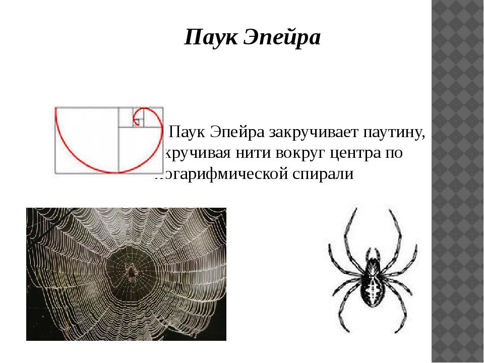 Паук Эпейра  Паук Эпейра закручивает паутину, скручивая нити вокруг центр...