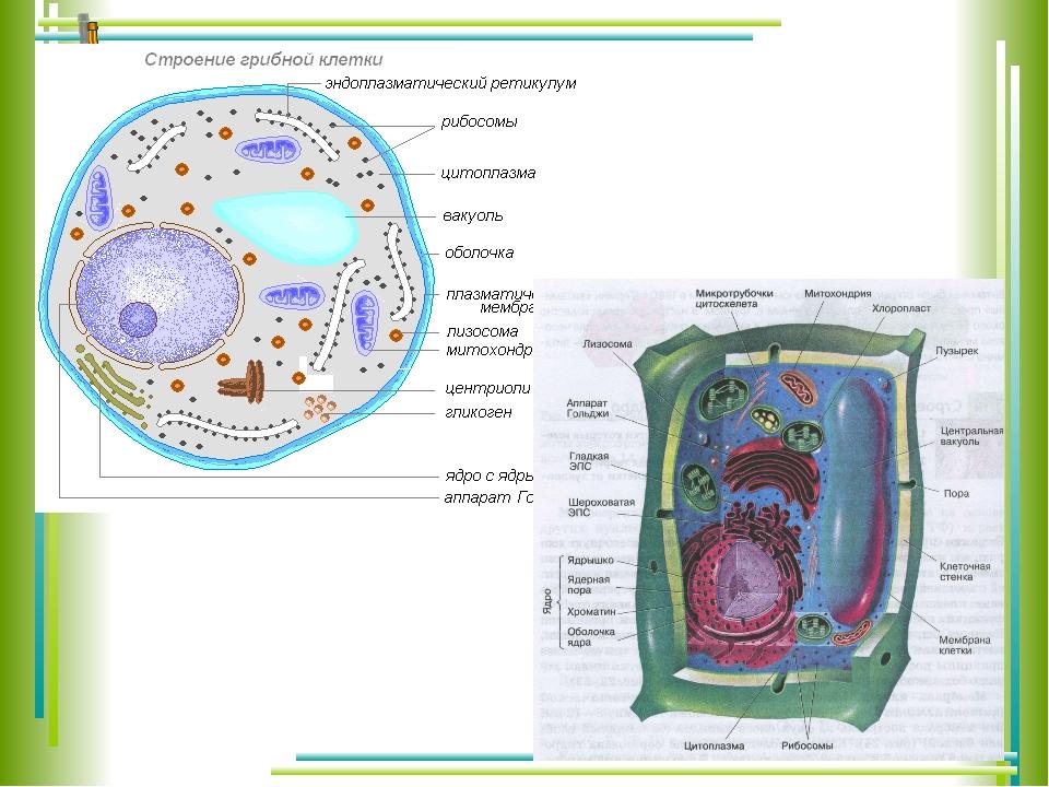 Строение клетки грибов картинки