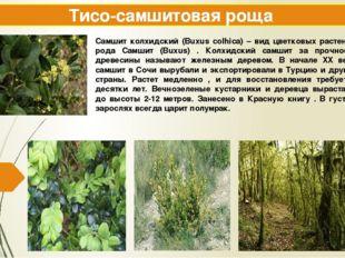 Тисо-самшитовая роща Самшит колхидский (Buxus colhica) – вид цветковых растен
