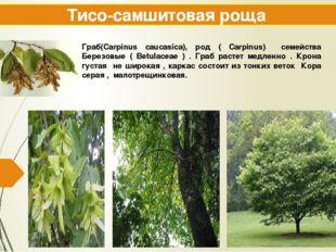 Тисо-самшитовая роща Граб(Carpinus caucasica), род ( Carpinus) семейства Бере