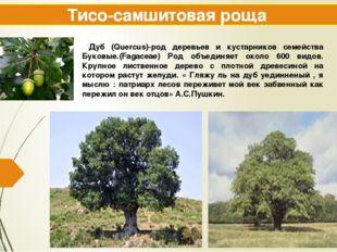 Тисо-самшитовая роща Дуб (Quercus)-род деревьев и кустарников семейства Буков