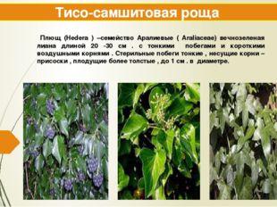 Тисо-самшитовая роща Плющ (Hedera ) –семейство Аралиевые ( Araliaceae) вечноз