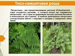 Тисо-самшитовая роща Папоротники , или папоротниковидные растения (Polipodiop