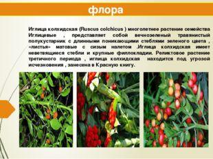 флора Иглица колхидская (Ruscus colchicus ) многолетнее растение семейства Иг