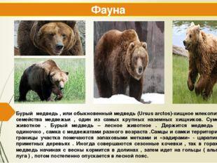 Бурый медведь , или обыкновенный медведь (Ursus arctos)-хищное млекопитающее
