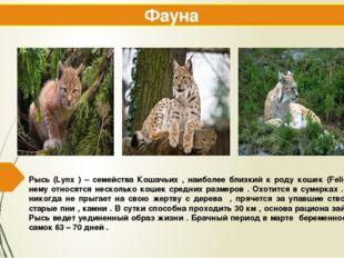 Рысь (Lynx ) – семейства Кошачьих , наиболее близкий к роду кошек (Felis ) к