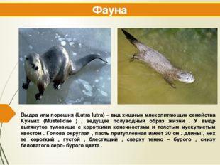 Выдра или порешня (Lutra lutra) – вид хищных млекопитающих семейства Куньих (