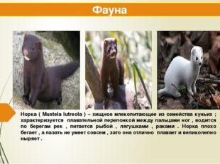 Норка ( Mustela lutreola ) – хищное млекопитающее из семейства куньих ; харак
