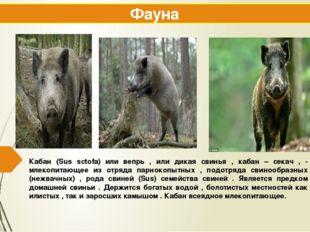 Кабан (Sus sctofa) или вепрь , или дикая свинья , кабан – секач , - млекопита