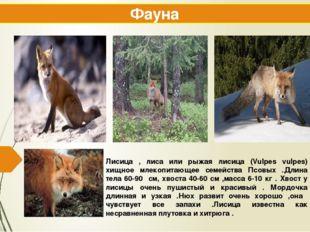 Лисица , лиса или рыжая лисица (Vulpes vulpes) хищное млекопитающее семейства